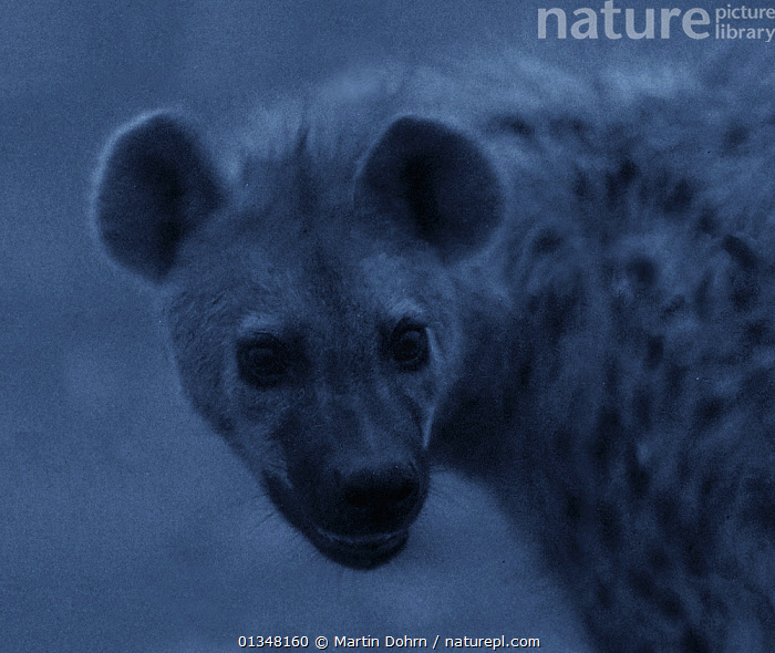 "Spotted hyena (Crocuta crocuta) at night, Topi Plain, Masai Mara, Kenya. Image taken using a ""starlight camera"" without artificial light, on location for National Geographic Nightstalkers film. *THIS IMAGE CAN ONLY BE USED IF NATIONAL GEOGRAPHIC NIGHTSTALKERS IS REFERENCED*, AFRICA,AFRICAN,CARNIVORES,DARK,HYAENAS,MAMMALS,NIGHT VISION,NOCTURNAL,PORTRAIT,VERTEBRATES, Martin Dohrn"