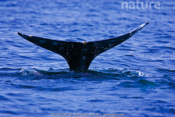 Tail fluke of a Grey Whale (Eschrichtius robustus) above the sea surface before the animal dives. 6 of a sequence of 7. Off Vancouver Island, Canada, June., BRITISH COLUMBIA,CANADA,CETACEANS,MAMMALS,MARINE,NORTH AMERICA,SEQUENCE,SURFACE,TAILS,VANCOUVER,VANCOUVER BOOK,VERTEBRATES,WATER,WEST CANADA,WHALES, Matthew Maran