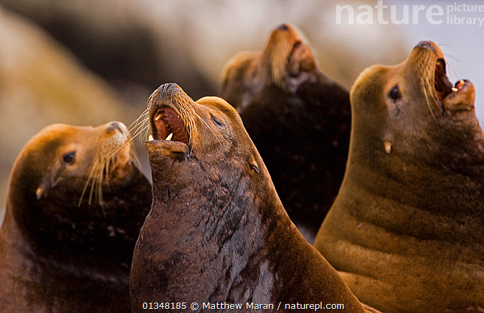 A group of California Sea Lion (Zalophus californianus) raising their heads and barking. Barkley Sound, Vancouver Island, Canada, September. Not available for ringtone/wallpaper use., BEHAVIOUR,BRITISH COLUMBIA,CALLING,CANADA,CARNIVORES,FOUR,GROUPS,MAMMALS,MARINE,NORTH AMERICA,PINNIPEDS,SEALIONS,SMALL GROUPS,VANCOUVER,VANCOUVER BOOK,VERTEBRATES,VOCALISATION,WEST CANADA,RINGTONE, Matthew Maran
