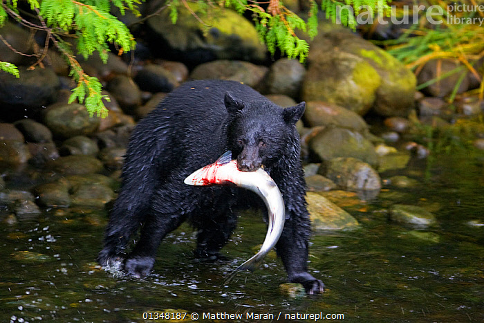 Black Bear (Ursus americanus) with a Chinook Salmon (Oncorhynchus tshawytscha) in its mouth. Ucluth Inlet, Barkley Sound, Vancouver Island, Canada, September.  ,  animal blood,Barkley Sound,BEARS,BEHAVIOUR,British Columbia,CANADA,CARNIVORES,catalogue4,Chinook Salmon,FISH,food chain,FUR,holding in mouth,MAMMALS,Nobody,NORTH AMERICA,Onocorhynchus tshawytscha,PREDATION,prey,river,Riverbank,RIVERS,SALMON,suspicious,two animals,Ucluth Inlet,Ursidae,Vancouver,vancouver book,Vancouver Island,VERTEBRATES,WALKING,watchful,WATER,west canada,wet,WILDLIFE  ,  Matthew Maran