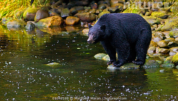 Black Bear (Ursus americanus) hunting for salmon from a river bank. Ucluth Inlet, Barkley Sound, Vancouver Island, Canada, September., BEARS,BRITISH COLUMBIA,CANADA,CARNIVORES,COPY SPACE,FISHING,HABITAT,HUMOROUS,MAMMALS,NORTH AMERICA,PREDATION,RIVERS,URSIDAE,VANCOUVER,VANCOUVER BOOK,VERTEBRATES,WATER,WEST CANADA,Concepts,Behaviour, Matthew Maran