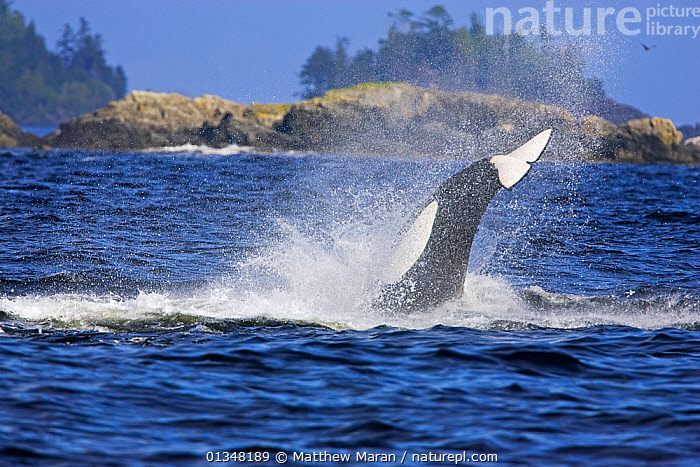 Transient Killer Whale / Orca (Orcinus orca) hunting sea lions. Barkley Sound, Vancouver Island, Canada, September., ACTION,BEHAVIOUR,BRITISH COLUMBIA,CANADA,CETACEANS,COASTS,DOLPHINS,ISLANDS,MAMMALS,MARINE,MOVEMENT,NORTH AMERICA,SEAS,SEASCAPES,SURFACE,TAILS,VANCOUVER,VANCOUVER BOOK,VERTEBRATES,WATER,WEST CANADA, Matthew Maran