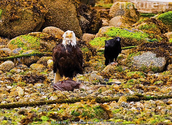 An American Bald Eagle (Haliaeetus leucocephalus) with remains of fish prey while a crow waits for scraps. Ucluelet, Vancouver Island, Canada, June., BEACHES,BIRDS,BIRDS OF PREY,BRITISH COLUMBIA,CANADA,CORVIDS,CROWS,EAGLES,FEEDING,FISH,LOOKING AT CAMERA,MIXED SPECIES,NORTH AMERICA,SCAVENGING,TWO,VANCOUVER,VANCOUVER BOOK,VERTEBRATES,WEST CANADA,Raptor, Matthew Maran