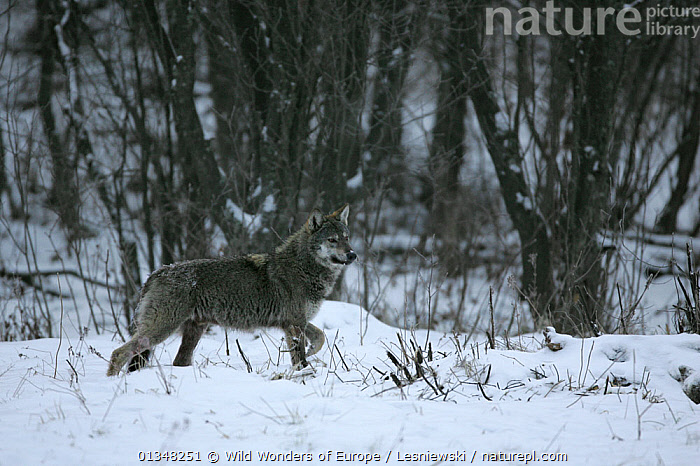 Wild Carpathian Grey Wolf (Canis lupus lupus) in snow-bound woodland habitat.Bieszczady, Carpathian Mountains, Poland, December., CANIDS,CARNIVORES,CARPATHIANS,EASTERN EUROPE,EUROPE,FORESTS,GRZEGORZ LESNIEWSKI,HABITAT,MAMMALS,NP,POLAND,RESERVE,REWILDING,SNOW,VERTEBRATES,WILD,WOLVES,WOODLANDS,WWE,National Park,Dogs , Eastern-Carpathians, Wild Wonders of Europe / Lesniewski
