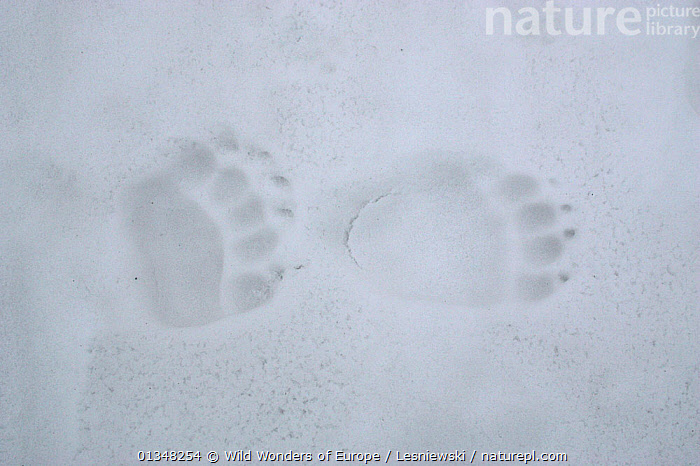 Brown Bear (Ursus arctos) tracks, showing difference between front and back paws. Bieszczady, Carpathian Mountains, Poland., BEARS,CARNIVORES,CARPATHIANS,EASTERN EUROPE,EUROPE,FOOTPRINTS,GRZEGORZ LESNIEWSKI,MAMMALS,NP,PAWS,POLAND,PRINTS,RESERVE,REWILDING,SNOW,TRACKS,VERTEBRATES,WWE,National Park , Eastern-Carpathians, Wild Wonders of Europe / Lesniewski