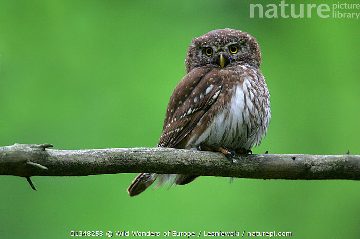 Pygmy Owl (Glaucidium passerinum) perching on a branch. Bieszczady, Carpathian Mountains, Poland, June., BIRDS,BIRDS OF PREY,CARPATHIANS,EASTERN EUROPE,EUROPE,GRZEGORZ LESNIEWSKI,LOOKING AT CAMERA,NP,OWLS,POLAND,PORTRAITS,RESERVE,REWILDING,VERTEBRATES,WWE,National Park,Raptor , Eastern-Carpathians, Wild Wonders of Europe / Lesniewski