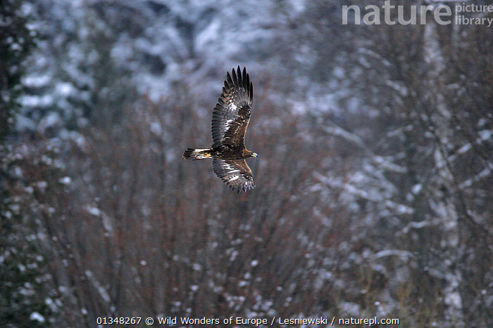 Golden Eagle (Aquila chrysaetos) in flight. Bieszczady, Carpathian Mountains, Poland, December., BIRDS,BIRDS OF PREY,CARPATHIANS,EAGLES,EASTERN EUROPE,EUROPE,FLYING,GRZEGORZ LESNIEWSKI,NP,POLAND,RESERVE,REWILDING,VERTEBRATES,WWE,National Park,Raptor , Eastern-Carpathians, Wild Wonders of Europe / Lesniewski