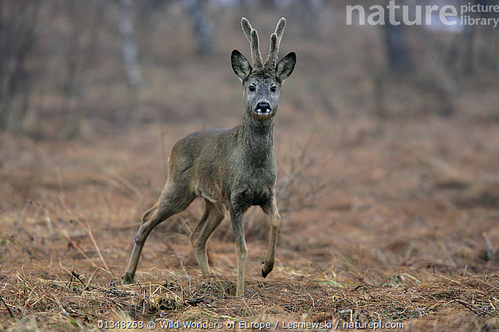Roe Deer (Capreolus capreolus) walking across field. Bieszczady, Carpathian Mountains, Poland, March., ARTIODACTYLA,CARPATHIANS,CERVIDS,DEER,EASTERN EUROPE,EUROPE,GRZEGORZ LESNIEWSKI,LOOKING AT CAMERA,MAMMALS,NP,POLAND,PORTRAITS,RESERVE,REWILDING,VERTEBRATES,WWE,National Park , Eastern-Carpathians, Wild Wonders of Europe / Lesniewski