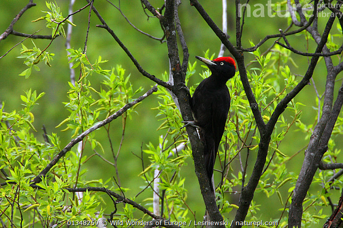 Black Woodpecker (Dryocopus martius) in branches. Bieszczady, Carpathian Mountains, Poland, May., BIRDS,CARPATHIANS,EASTERN EUROPE,EUROPE,GRZEGORZ LESNIEWSKI,HABITAT,NP,POLAND,RESERVE,REWILDING,VERTEBRATES,WOODPECKERS,WWE,National Park , Eastern-Carpathians, Wild Wonders of Europe / Lesniewski