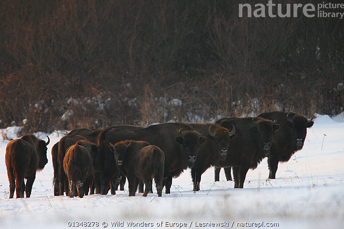 Wisent / European Bison (Bison bonasus) on snow watching the photographer. Bieszczady, Carpathian Mountains, Poland, February., ARTIODACTYLA,BOVIDS,BUFFALOS,CARPATHIANS,EASTERN EUROPE,ENDANGERED,EUROPE,GROUPS,GRZEGORZ LESNIEWSKI,HUMOROUS,LOOKING AT CAMERA,MAMMALS,NP,POLAND,RESERVE,REWILDING,SNOW,VERTEBRATES,WWE,Concepts,National Park , Eastern-Carpathians, Wild Wonders of Europe / Lesniewski