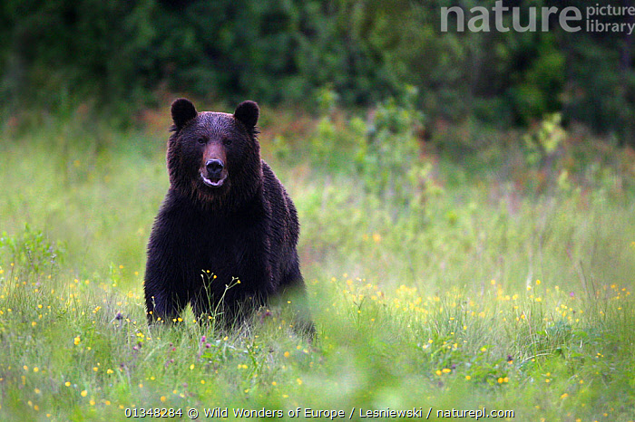 Wild Brown Bear (Ursus arctos) in mountain meadow. Bieszczady, Carpathian Mountains, Poland, May., BEARS,CARNIVORES,CARPATHIANS,COPYSPACE,EASTERN EUROPE,EUROPE,GRZEGORZ LESNIEWSKI,HABITAT,LOOKING AT CAMERA,MAMMALS,NP,POLAND,PORTRAITS,RESERVE,REWILDING,VERTEBRATES,WWE,National Park , Eastern-Carpathians, Wild Wonders of Europe / Lesniewski