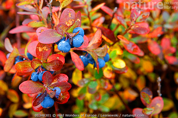 Bog Bilberry (Vaccinium uliginosum) fruit. 