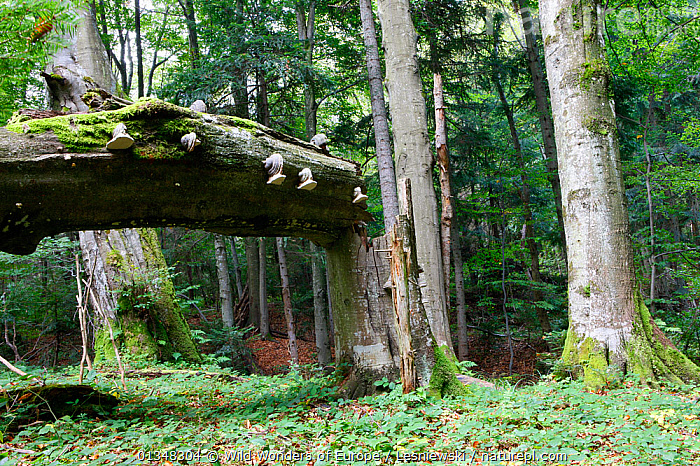 Carpathian Beech Forest with bracket fungi on fallen Beech tree trunk Bieszczady, Carpathian Mountains, Poland, September., CARPATHIANS,EASTERN EUROPE,EUROPE,FAGUS,FORESTS,GRZEGORZ LESNIEWSKI,HABITAT,NP,POLAND,RESERVE,REWILDING,TREES,UNDERSTOREY,WOODLANDS,WWE,National Park,PLANTS , Eastern-Carpathians, Wild Wonders of Europe / Lesniewski