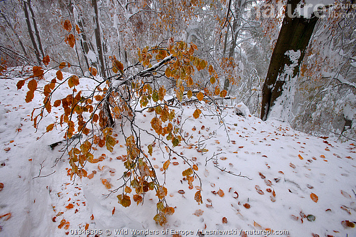 Autumn's snowfall in beech forest. Bieszczady, Carpathian Mountains, Poland, October., CARPATHIANS,EASTERN EUROPE,EUROPE,FAGUS,FORESTS,GRZEGORZ LESNIEWSKI,HABITAT,LEAVES,NP,POLAND,RESERVE,REWILDING,SNOW,WOODLANDS,WWE,National Park , Eastern-Carpathians, Wild Wonders of Europe / Lesniewski