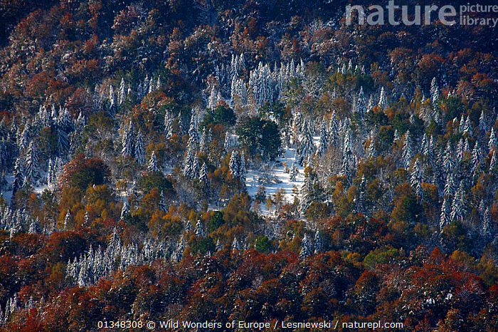Carpathian beech forest, view from Polonina Wetlinska. Bieszczady, Carpathian Mountains, Poland, October 2009., CARPATHIANS,EASTERN EUROPE,EUROPE,FORESTS,FROST,GRZEGORZ LESNIEWSKI,LANDSCAPES,NP,POLAND,RESERVE,REWILDING,SNOW,WOODLANDS,WWE,Weather,National Park , Eastern-Carpathians, Wild Wonders of Europe / Lesniewski