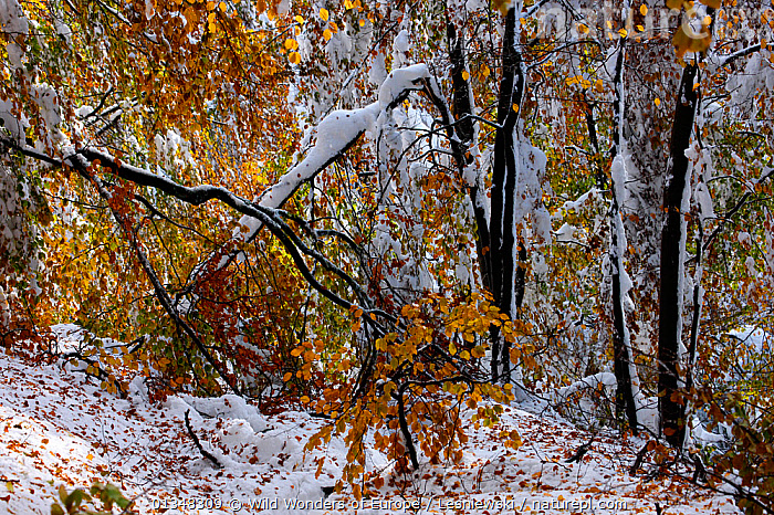 Autumn's snowfall in beech forest. Bieszczady, Carpathian Mountains, Poland, October., CARPATHIANS,EASTERN EUROPE,EUROPE,FAGUS,FORESTS,FROST,GRZEGORZ LESNIEWSKI,HABITAT,NP,POLAND,RESERVE,REWILDING,SNOW,UNDERSTOREY,WOODLANDS,WWE,Weather,National Park , Eastern-Carpathians, Wild Wonders of Europe / Lesniewski