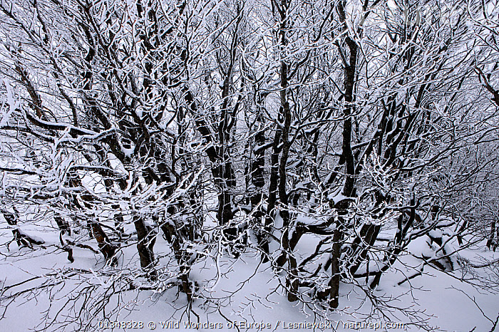 Common beech (Fagus sylvatica) shrubs in snow. Bieszczady, Carpathian Mountains, Poland, February., BACKGROUNDS,CARPATHIANS,DICOTYLEDONS,EASTERN EUROPE,EUROPE,FAGACEAE,GRZEGORZ LESNIEWSKI,NP,PATTERNS,PLANTS,POLAND,RESERVE,REWILDING,SNOW,WWE,National Park , Eastern-Carpathians, Wild Wonders of Europe / Lesniewski