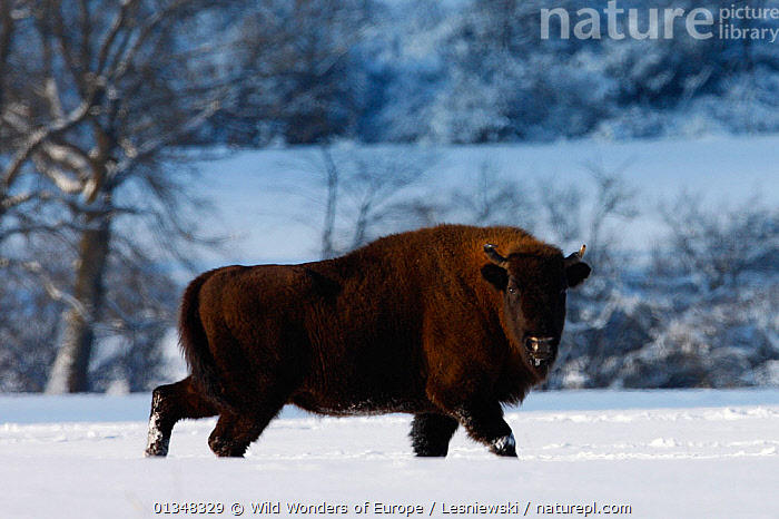 Wisent / European bison (Bison bonasus) walking through snow. Bieszczady, Carpathian Mountains, Poland, February., ARTIODACTYLA,BOVIDS,BUFFALOS,CARPATHIANS,EASTERN EUROPE,ENDANGERED,EUROPE,GRZEGORZ LESNIEWSKI,LOOKING AT CAMERA,MAMMALS,NP,POLAND,PROFILE,RESERVE,REWILDING,SNOW,VERTEBRATES,WWE,National Park , Eastern-Carpathians, Wild Wonders of Europe / Lesniewski