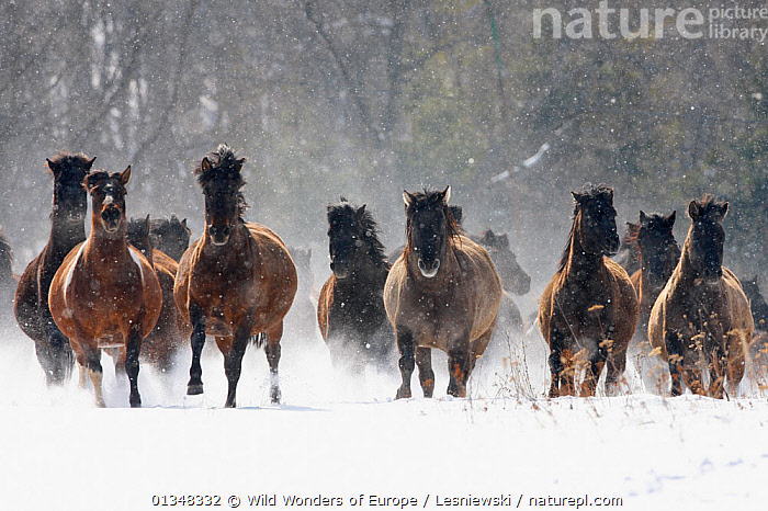 Herd of wild Carpathian Ponies / Hurcul (Equus caballus) in snow. Bieszczady, Carpathian Mountains, Poland, March., ACTION,CARPATHIANS,EASTERN EUROPE,EUROPE,FERAL,GROUPS,GRZEGORZ LESNIEWSKI,HORSES,MAMMALS,MOVEMENT,NP,PERISSODACTYLA,POLAND,RESERVE,REWILDING,SNOW,VERTEBRATES,WWE,National Park,Equines , Eastern-Carpathians, Wild Wonders of Europe / Lesniewski