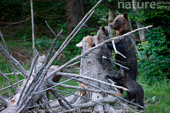 Brown Bear (Ursus arctos) female with cubs playing on dead tree. Bieszczady, Carpathian Mountains, Poland, July.  ,  BEARS,CARNIVORES,CARPATHIANS,CUBS,EASTERN EUROPE,EUROPE,GRZEGORZ LESNIEWSKI,HABITAT,MAMMALS,MOTHER BABY,NP,POLAND,RESERVE,REWILDING,VERTEBRATES,WWE,YOUNG,National Park , Eastern-Carpathians  ,  Wild Wonders of Europe / Lesniewski