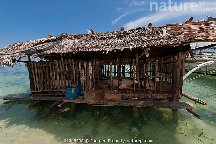 Pigs kept in wooden hut on stilts over sea water,  Palawan, Philippines, April 2009  ,  BUILDINGS,coral triangle,CULTURES,farming,INDO PACIFIC,LIVESTOCK,Pig,SOUTH EAST ASIA,TRADITIONAL,WOODEN,WWF,SOUTH-EAST-ASIA,Asia  ,  Jurgen Freund
