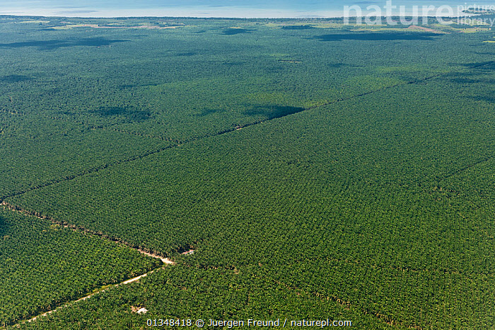 Aerial view of palm oil plantations (Elaeis guineensis). Sabah, Malaysia, June 2009.  ,  AERIALS,AGRICULTURE,ARECACEAE,CORAL TRIANGLE,CROPS,FIELDS,GREEN,INDO PACIFIC,LANDSCAPES,MONOCOTYLEDONS,PALMS,PLANTATIONS,PLANTS,SOUTH EAST ASIA,  ,  Jurgen Freund