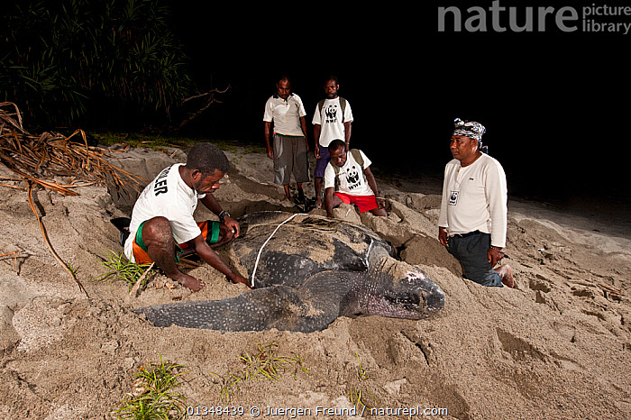 WWF Sorong team with local Papuan patrollers doing Leatherback turtle (Dermochelys coriacea) research. Warmamedi beach, Bird's Head Peninsula, West Papua, Indonesia, July 2009., BEACHES,CHELONIA,COASTS,CORAL TRIANGLE,ENDANGERED,GROUPS,INDO PACIFIC,MARINE,MEASURING,MEN,NIGHT,PEOPLE,REPTILES,RESEARCH,SCIENTISTS,SEA TURTLES,SOUTH EAST ASIA,TURTLES,,SOUTH-EAST-ASIA,Asia, Jurgen Freund