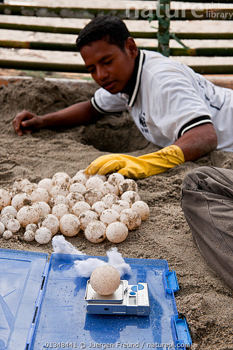 Leatherback turtle (Dermochelys coriacea) eggs dug out of badly located nests being weighed and measured before relocation to a hatchery constructed by WWF. This is done by State Universiti of Papua (UNIPA) students and WWF staff. Warmamedi beach, Bird's Head Peninsula, West Papua, Indonesia, July 2009 . NOT AVAILABLE FOR MAGAZINE USE IN GERMAN-SPEAKING COUNTRIES UNTIL 1ST JULY 2013.  ,  BEACHES,CHELONIA,COASTS,CONSERVATION,CORAL TRIANGLE,EGGS,ENDANGERED,GROUPS,INDO PACIFIC,MARINE,MEN,NESTS,PEOPLE,REPTILES,RESEARCH,SCIENTIST,SEA TURTLES,SOUTH EAST ASIA,TURTLES,VERTICAL,,SOUTH-EAST-ASIA,Asia  ,  Jurgen Freund