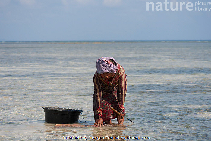 Indonesian woman gleaning for food at low tide. Women, children, and sometimes men come out with a net, basket, or small container. During the daytime low tide they collect bivalves, crustaceans and fish to eat. Sulawesi, indonesia, November 2009 . NOT AVAILABLE FOR MAGAZINE USE IN GERMAN-SPEAKING COUNTRIES UNTIL 1ST JULY 2013., ASIA,BEACHES,BIVALVES,COLLECTING,CORAL TRIANGLE,CRUSTACEANS,CULTURES,FISH,FOOD,GATHERING,HARVESTING,INDO PACIFIC,LOW TIDE,PEOPLE,SOUTH EAST ASIA,WATER,WOMEN,,Invertebrates,SOUTH-EAST-ASIA, Jurgen Freund