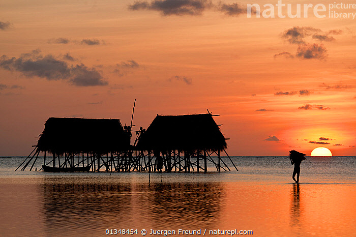 Man carrying firewood for cooking to coconut farmers' houses on stilts in sea. These houses are used twice a year, during copra harvest, each holding 15-20 farmers from Binongko, about 60 km away. Though Moromaho Island is a no-take zone, these farmers are allowed to continue the traditional harvest. Wakitobi, Sulawesi, Indonesia, November 2009 . NOT AVAILABLE FOR MAGAZINE USE IN GERMAN-SPEAKING COUNTRIES UNTIL 1ST JULY 2013.  ,  ASIA,BUILDINGS,CARRYING,CORAL TRIANGLE,CULTURES,HOUSES,INDO PACIFIC,MEN,PEOPLE,REFLECTIONS,SHALLOWS,SILHOUETTES,SOUTH EAST ASIA,STILTS,SUNSET,TRADITIONAL,TROPICAL,WATER,WOOD,,SOUTH-EAST-ASIA,INDONESIA  ,  Jurgen Freund