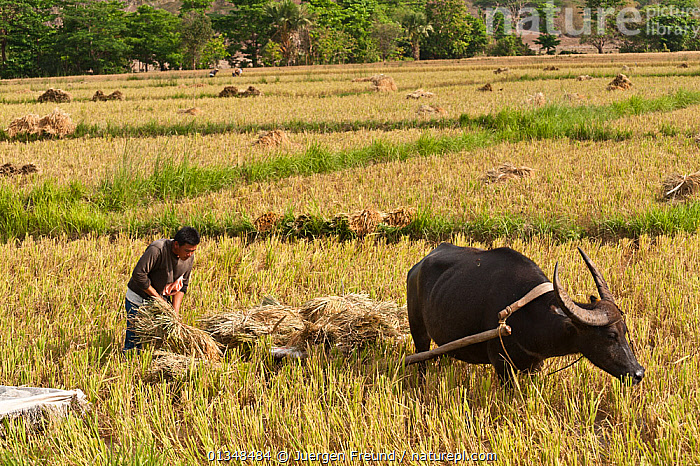 Farmer harvesting rice with the help of his Water buffalo (Bubalus bubalis). Sablayan, Philippines, March 2010.  ,  AGRICULTURE,ARTIODACTYLA,BOVIDAE,BOVIDS,BUFFALOS,CORAL TRIANGLE,CULTURES,FIELDS,HARVESTING,INDO PACIFIC,MAMMALS,MEN,PEOPLE,RICE,SOUTH EAST ASIA,VERTEBRATES,WORKING,,Cattle  ,  Jurgen Freund