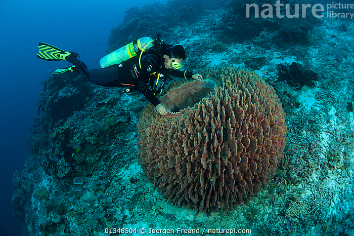 Massive barrel sponge (Xestospongia testudinaria) and diver. Tubbataha Reef National Marine Park, Palawan, Philippines, April 2009. Model released.  ,  COASTAL WATERS,CORAL TRIANGLE,CORAL REEFS,DIVERS,DIVING,INDO PACIFIC,INVERTEBRATES,LARGE,MARINE,PEOPLE,PORIFERA,SCUBA,SOUTH EAST ASIA,SPONGES,SWIMMING,TROPICAL,UNDERWATER,,SIZE ,SOUTH-EAST-ASIA,Asia  ,  Jurgen Freund