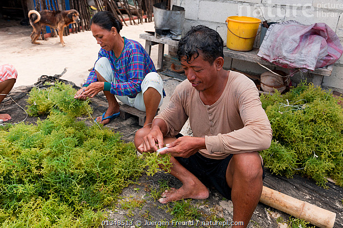 Villagers with freshly harvested seaweed, readying it for drying. Green Island, Palawan, Philippines, April 2009.  ,  ASIA,CORAL TRIANGLE,CULTURES,FOOD,INDO PACIFIC,MEN,PEOPLE,SEAWEED,SOUTH EAST ASIA,VILLAGES,WOMEN,WORKING,,Plants  ,  Jurgen Freund