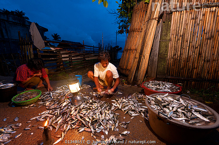 Men sorting the night's fish catch in the early morning. Northern Palawan, Phillipines, May 2009.  ,  ASIA,CORAL TRIANGLE,DAWN,FISH,FISHING,FOOD,INDO PACIFIC,MEN,PEOPLE,SOUTH EAST ASIA,VILLAGES,WORKING,  ,  Jurgen Freund
