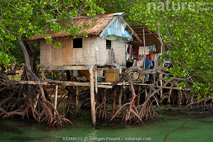 A thatched house built in amongst the mangrove roots on stilts. Northern Palawan, Philippines, May 2009., ASIA,BUILDINGS,CORAL TRIANGLE,CULTURES,HOUSES,INDO PACIFIC,MANGROVES,ROOTS,SOUTH EAST ASIA,STILTS,THATCH,TREES,TROPICAL,WATER,WOODEN,,SOUTH-EAST-ASIA,PLANTS, Jurgen Freund