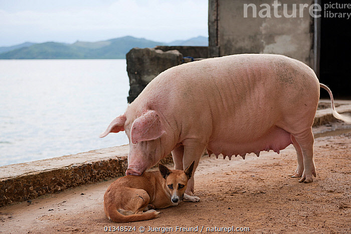 A pig (Sus scrofa domestica) mothering a dog (Canis familiaris). Northern Palawan, Philippines, May 2009., AFFECTION,ARTIODACTYLA,CORAL TRIANGLE,DOGS,FEMALES,FRIENDSHIP,INDO PACIFIC,INTERSPECIES,ISLANDS,LIVESTOCK,MAMMALS,MIXED SPECIES,PARENTAL,PIGS,SOUTH EAST ASIA,SUIDS,VERTEBRATES,VILLAGES,,Concepts, Jurgen Freund