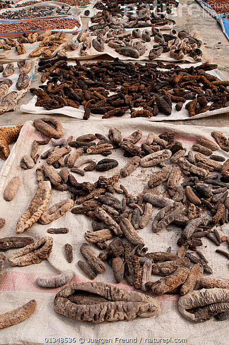 Sea cucumbers laid out on the floor to dry under the heat of the sun. West Papua, Indonesia, July 2009., ASIA,CORAL TRIANGLE,ECHINODERMS,FOOD,GROUPS,INDONESIA,INDO PACIFIC,MARINE,SOUTH EAST ASIA,TRADE,VERTICAL,,Invertebrates,SOUTH-EAST-ASIA, Jurgen Freund