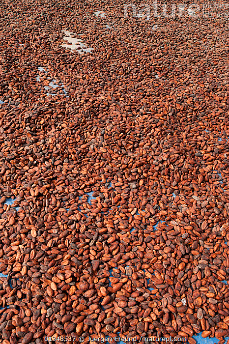 Fresh Coca beans (Theobroma cacao) laid out on the ground for drying, West Papua, Indonesia, July 2009., COMMERCIAL,CORAL TRIANGLE,CROPS,DICOTYLEDONS,FOOD,HARVESTING,INDO PACIFIC,PLANTS,SOUTH EAST ASIA,STERCULIACEAE,,Asia, Jurgen Freund