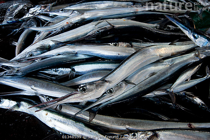 Longtom fish / Needlfish for sale in the Sorong market, West Papua, Indonesia, July 2009., CORAL TRIANGLE,FISH,FISHERIES,FOOD,INDO PACIFIC,NEEDLE FISH,SILVER,SOUTH EAST ASIA,TRADE,,SOUTH-EAST-ASIA,Asia, Jurgen Freund