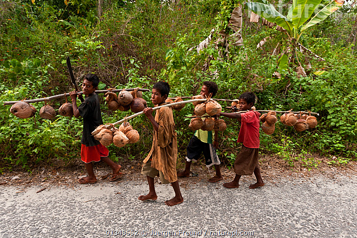 Young boys carry husked coconuts home, walking several kilometers, Moluccas Islands, Indonesia, November 2009., ASIA,BOY,CARRYING,CHILDREN,COCONUT,COCOS NUCIFERA ,CORAL TRIANGLE,CROPS,CULTURES,HARVESTING,INDO PACIFIC,OUTDOORS,PEOPLE,SOUTH EAST ASIA,TROPICAL RAINFOREST,WORKING,,SOUTH-EAST-ASIA,INDONESIA, Jurgen Freund