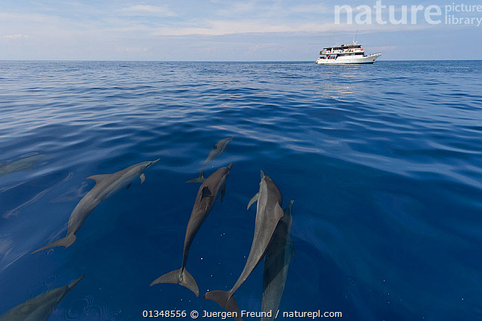 Spinner dolphins (Stenella longirostris) being herded towards a tourist resort for the guests to see up close. Papua New Guinea, May 2010., BOATS,CETACEANS,COASTAL WATERS,CORAL TRIANGLE,DOLPHINS,GROUPS,INDO PACIFIC,MAMMALS,MOTORBOATS,PROFILE,SOUTH EAST ASIA,SWIMMING,TOURISM,TROPICAL,UNDERWATER,VERTEBRATES,, Jurgen Freund