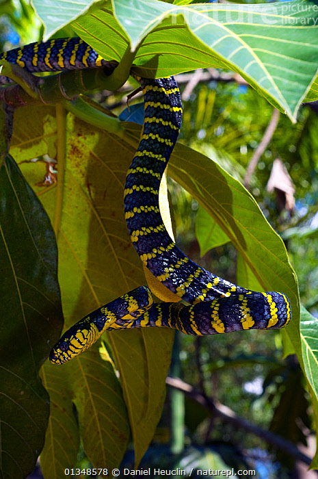 Philippine mangrove snake amongst vegetation, (Boiga dendrophila divergens) controlled conditions, Luzon, Philippines, ASIA,BLUE,COLUBRIDS,HABITAT,REPTILES,SNAKES,SOUTH EAST ASIA,TROPICAL RAINFOREST,VERTEBRATES,VERTICAL,YELLOW, Daniel Heuclin
