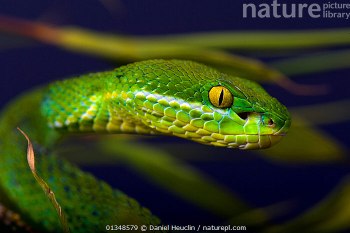 White-lipped / Green tree viper (Cryptelytrops albolabris) captive, from SE Asia, ASIA, GREEN, PORTRAITS, REPTILES, Snake, SNAKES, SOUTH-EAST-ASIA, TROPICAL, VERTEBRATES, VIPERS, Daniel Heuclin
