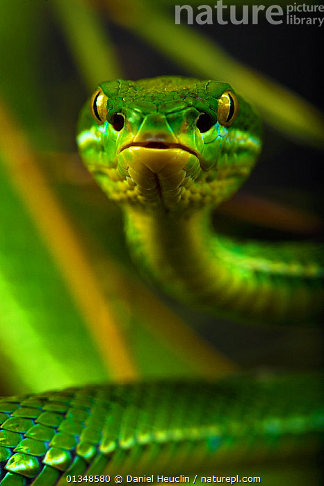 White-lipped / Green tree viper (Cryptelytrops albolabris) captive, from SE Asia  ,  alert, animal head, ASIA, CAMOUFLAGE, captive animal, catalogue4, close up, COLOURFUL, EYES, front view, GREEN, green colour, looking at camera, Nobody, one animal, PORTRAITS, REPTILES, Snake, SNAKES, South East Asia, TROPICAL, VERTEBRATES, VERTICAL, VIPERS, watchful, WILDLIFE,Catalogue5  ,  Daniel Heuclin
