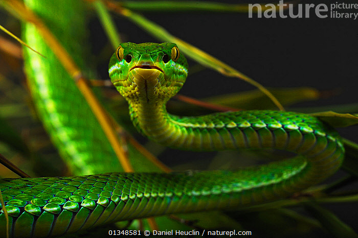 White-lipped / Green tree viper (Cryptelytrops albolabris) captive, from SE Asia, ASIA, GREEN, looking at camera, PORTRAITS, REPTILES, Snake, SNAKES, SOUTH-EAST-ASIA, TROPICAL, VERTEBRATES, VIPERS, Daniel Heuclin