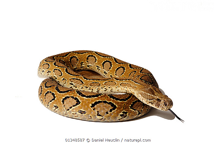 Daboia / Russell's viper (Daboia russelii) studio shot, captive, from India  ,  ASIA, CUTOUT, india, INDIAN-SUBCONTINENT, POISONOUS, PORTRAITS, REPTILES, Snake, SNAKES, VERTEBRATES, VIPERS  ,  Daniel Heuclin