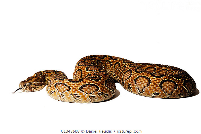 Daboia / Russell's viper (Daboia russelii) studio shot, captive, from India  ,  ASIA, CUTOUT, INDIAN-SUBCONTINENT, PATTERNS, POISONOUS, REPTILES, SKIN, SNAKES, VERTEBRATES, VIPERS  ,  Daniel Heuclin