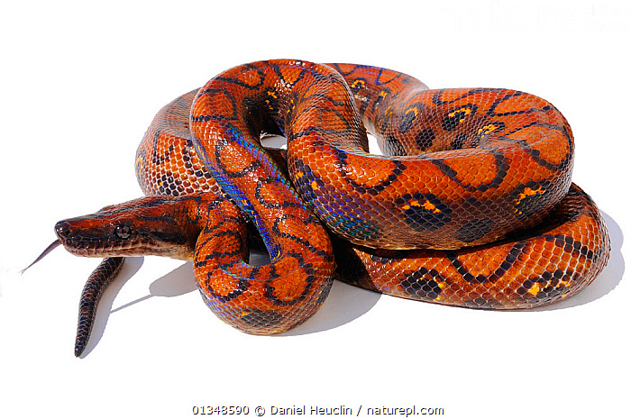 Rainbow boa (Epicrates cenchria cenchria) studio shot, captive, from French Guiana, BOAS,BROWN,CENTRAL AMERICA,CONSTRICTORS,CUTOUT,PORTRAITS,RED,REPTILES,SCALES,SNAKES,VERTEBRATES, Daniel Heuclin