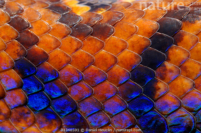 Close up of skin of Rainbow boa (Epicrates cenchria cenchria) captive, from French Guiana, animal marking,animal pattern,BACKGROUNDS,BLUE,BOAS,BROWN,captive animal,catalogue4,CENTRAL AMERICA,close up,COLOURFUL,CONSTRICTORS,French Guina,full frame,hues,IRRIDESCENCE,Nobody,REPTILES,scales,SKIN,SNAKES,VERTEBRATES,,Beauty in nature,,,beauty in nature,, Daniel Heuclin