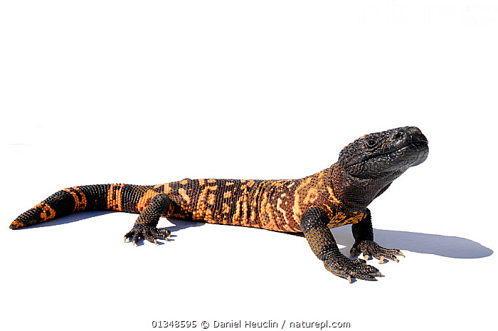Gila monster (Heloderma suspectum) studio shot, captive, from Arizona, USA, BEADED LIZARDS,CUTOUT,HELODERMATIDAE,LIZARDS,POISONOUS,PORTRAITS,REPTILES,USA,VERTEBRATES,North America,,Lizards,,,Lizards,, Daniel Heuclin